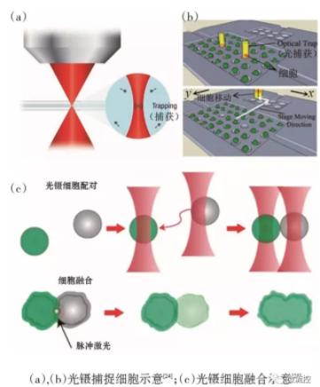 图4 基于光镊技术的微流控芯片中的单细胞捕获
