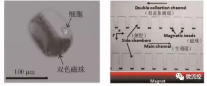 图8 基于磁捕获技术的微流控芯片上的细胞操控