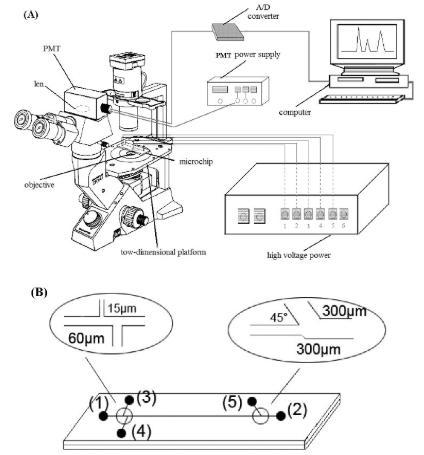 图2.使用倒置显微镜和PMT检测器在单个红细胞分析中进行微流控芯片电泳。