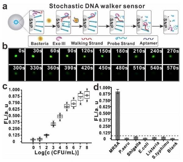 Figure 2.基于SDwalker的传感器用于细菌检测