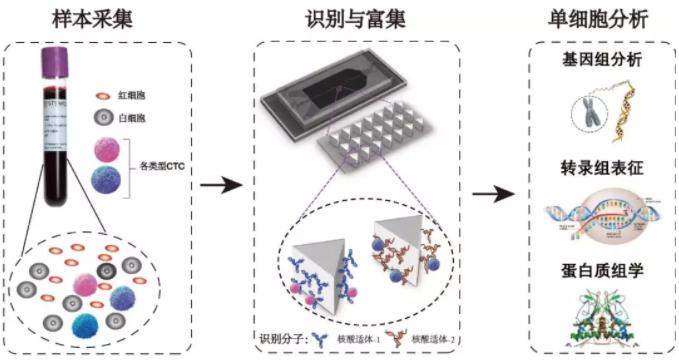 循环肿瘤细胞分析过程示意图