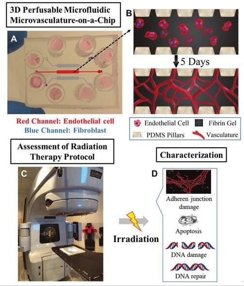 有望减少放射治疗副作用的微流控芯片