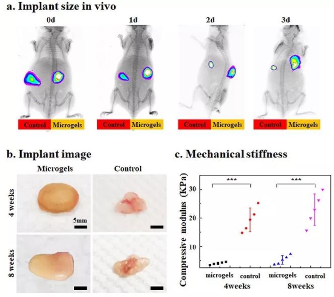 图6:包载BMSCs的Gel-HA微凝胶在动物体内实现可注射和自组装