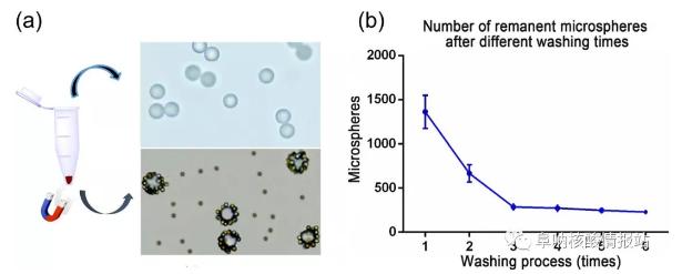 图5 (a)上清液中游离微球和沉淀物中MBCs,研究了不同洗涤次数后残留微球的数量。(b)经过1次、2次洗涤后,残余微球数量急剧减少,3次洗涤后逐渐减少,说明大部分游离微球已被洗涤3次后清除。确定理想的洗涤时间是4。