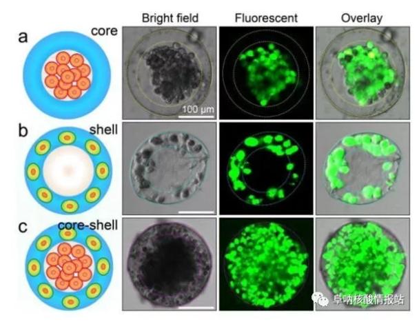 图片4.png 图3 3D核-壳支架中不同细胞的空间组装a) 凝胶壳将HepG2细胞限制在核心中。b)通过交联的藻酸盐网络固定在壳中的NIH-3T3成纤维细胞。c) 肝细胞在核心中同时组装,在壳中成纤维细胞同时组装,形成一滴人造肝脏。(比例尺100μm,细胞活力通过钙黄绿素AM /EthD-1染色试剂盒进行表征。)