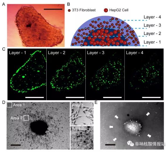 图片9.png 图8 液滴中3T3成纤维细胞和HepG2细胞形成的肝球体的结构特征