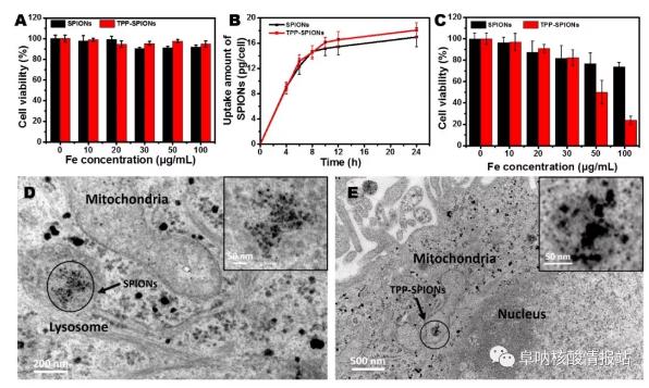 图片10.png 图9 TPP-磁珠对肝癌细胞生存的影响