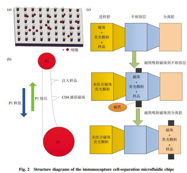 图2免疫捕获细胞分离芯片结构示意图