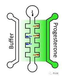 向包含高浓度孕酮(深绿色)的中央通道右侧游动的精子,比向左侧的较低浓度(浅绿色)的精子游动的多。