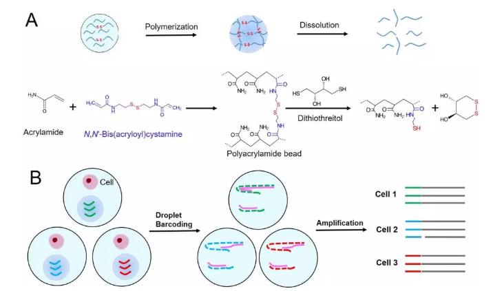 图1. (A) 可控降解型聚丙烯酰胺微球的合成和降解原理示意图,(B)可控降解型微球在基于液滴的单细胞分析过程使用的图示。
