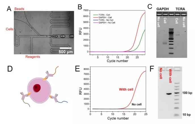图3. (A)显微镜下包裹单个细胞和单个微球的液滴的产生过程,(B) TCRA和GAPDH mRNA的qPCR实验结果,(C) GAPDH和TCRA mRNA在液滴中反应后PCR产物的琼脂糖凝胶电泳实验结果,(D)抗体–DNA偶联物结合细胞表面蛋白的示意图,(E)单细胞表面蛋白分析中的qPCR实验结果,(F)细胞表面蛋白分析中的琼脂糖凝胶电泳实验结果。