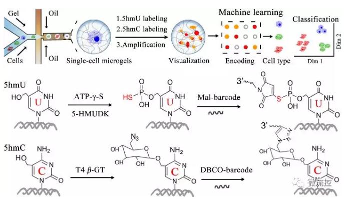 单细胞5hmU/5hmC单分子可视化分析示意图