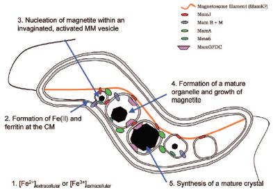 图 1 磁小体形成过程[15]