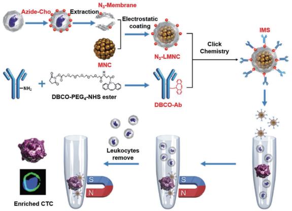 图 2 免疫磁小体(IMSs)的构建和CTC富集过程[48]