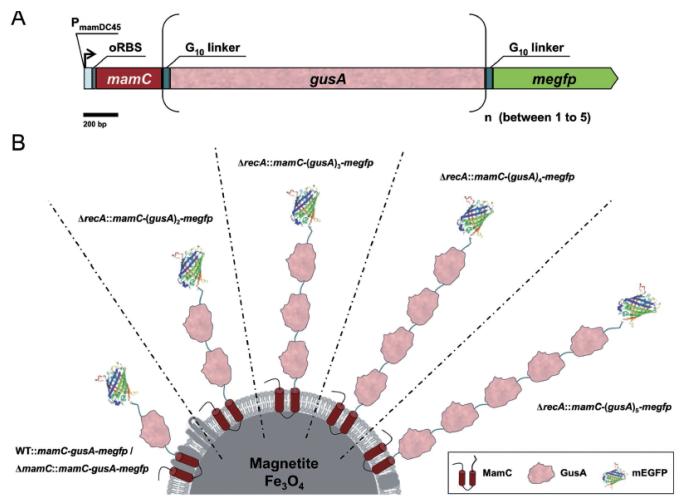 图 5 mEGFP-(GusA)s-MamC在磁小体中的基因设计(A)和表达效果(B)示意图[62]