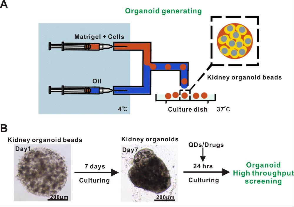 利用基于微流控技术的类器官模型成功实现纳米材料生物安全性筛查