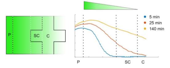 图3. 荧光素扩散梯度随时间的变化