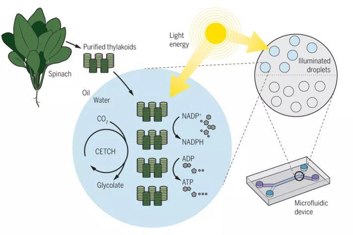 半合成光合作用的技术途径