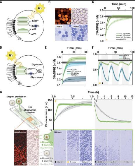 图3. 光驱动微流体液滴中的酶反应