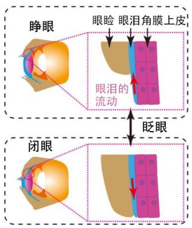 图2:此次研究再现的人角膜结构和眨眼时的眼泪运动