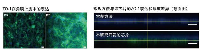 图5:在角膜芯片内培养的角膜上皮细胞的ZO-1蛋白质(绿色)表达。角膜发挥作用需要ZO-1