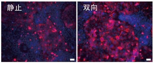 图6:在角膜芯片内培养的角膜上皮细胞中的CK-19蛋白质(红色)的表达