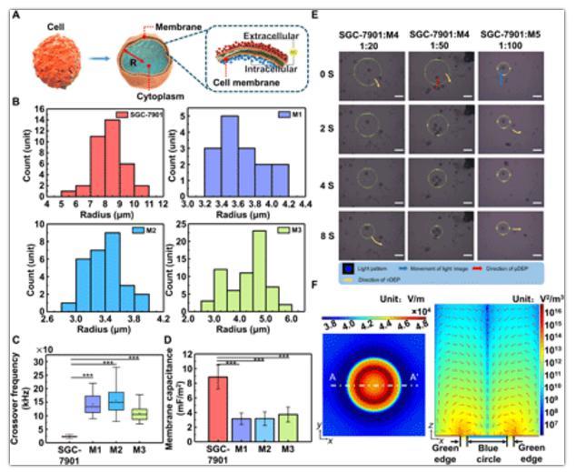 细胞极化模型与细胞分离