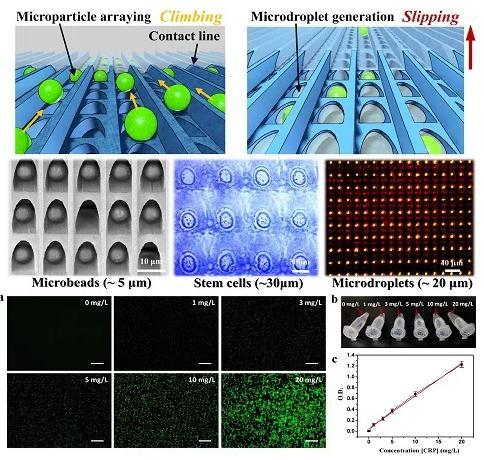 图1 (a)不同浓度CRP制剂的微粒子阵列的代表性荧光图像